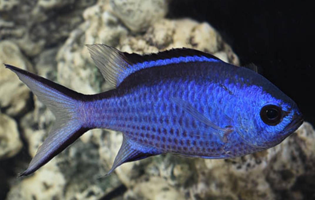 Blue Chromis Reef